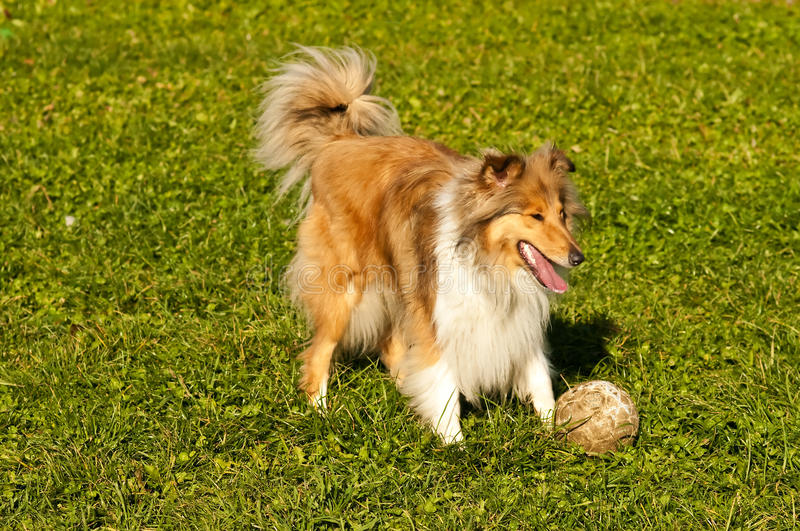 Collie with ball stock photos