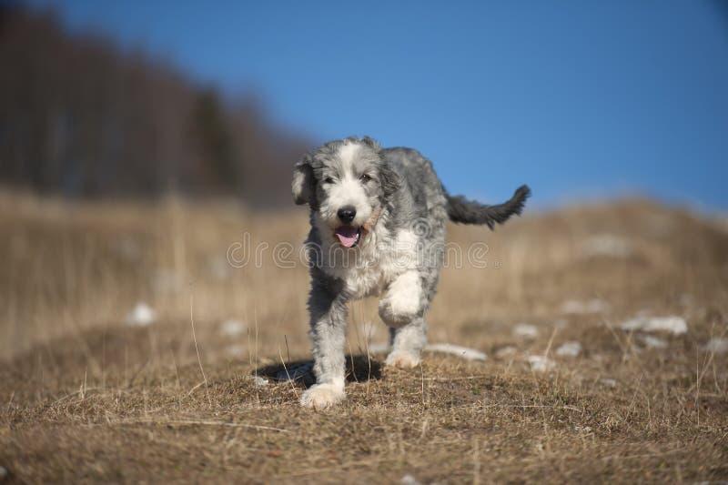 Collie barbuto del cucciolo immagine stock libera da diritti