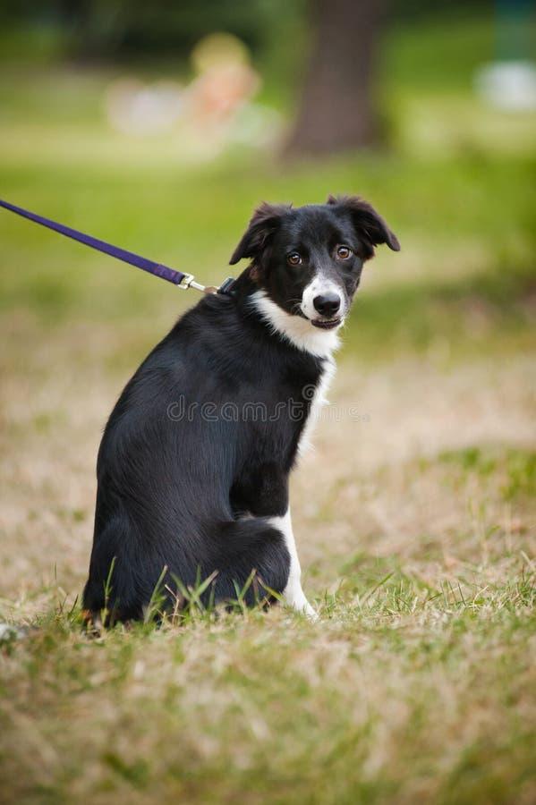 Download Collie De Beira Bonito Do Filhote De Cachorro Imagem de Stock - Imagem de front, animais: 26522809