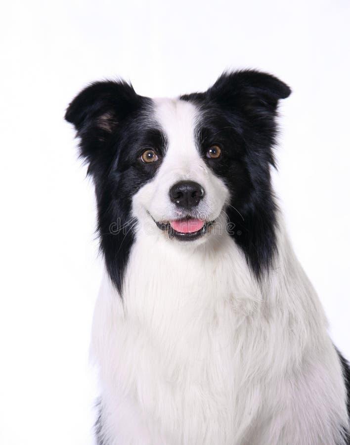 Collie de beira do animal de estimação do cão foto de stock royalty free