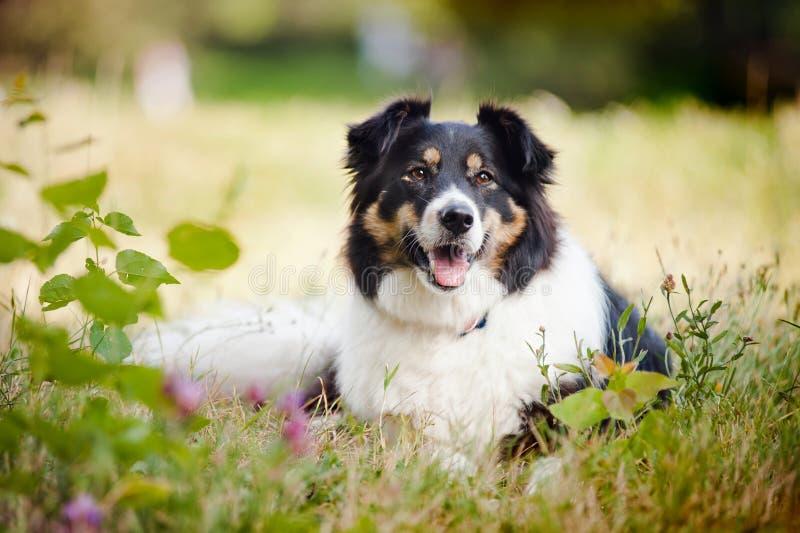 Collie de beira feliz do cão fotografia de stock royalty free