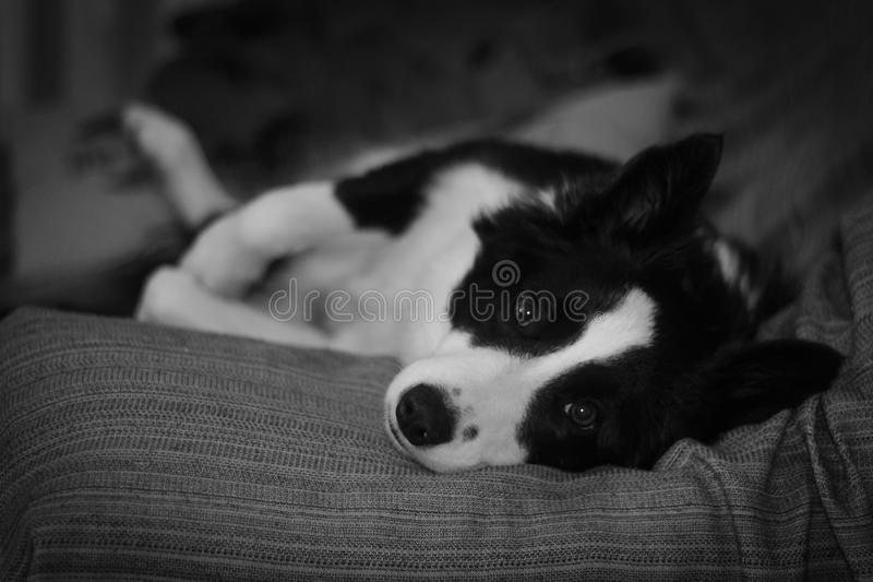 Collie de descanso foto de stock royalty free