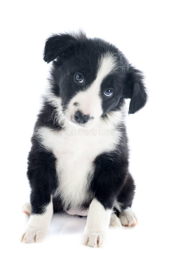 Collie de frontera del perrito fotografía de archivo libre de regalías