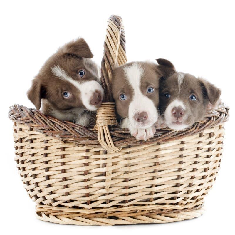 Collie de frontera del perrito en cesta fotos de archivo libres de regalías