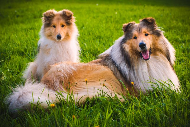 Collie Dog stock photography