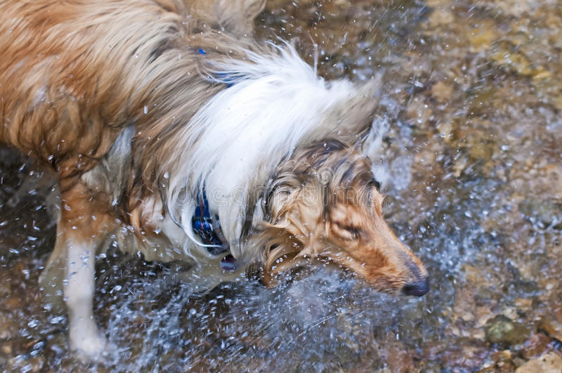 Download Collie Dog Stock Images - Image: 20726344