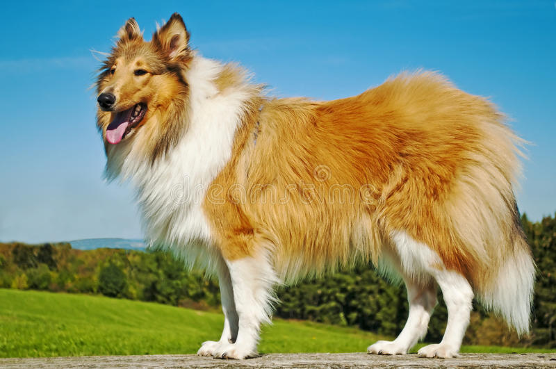 Download Collie dog stock photo. Image of canine, collie, rough - 21396986