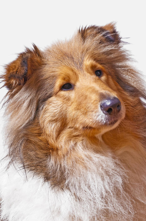 Download Collie dog stock image. Image of sweet, closeup, nice - 22300649