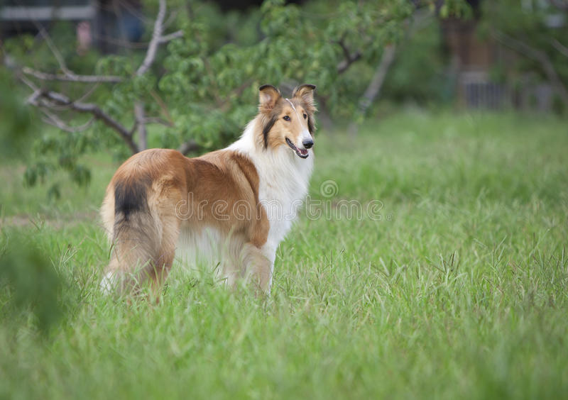 Collie dog royalty free stock images