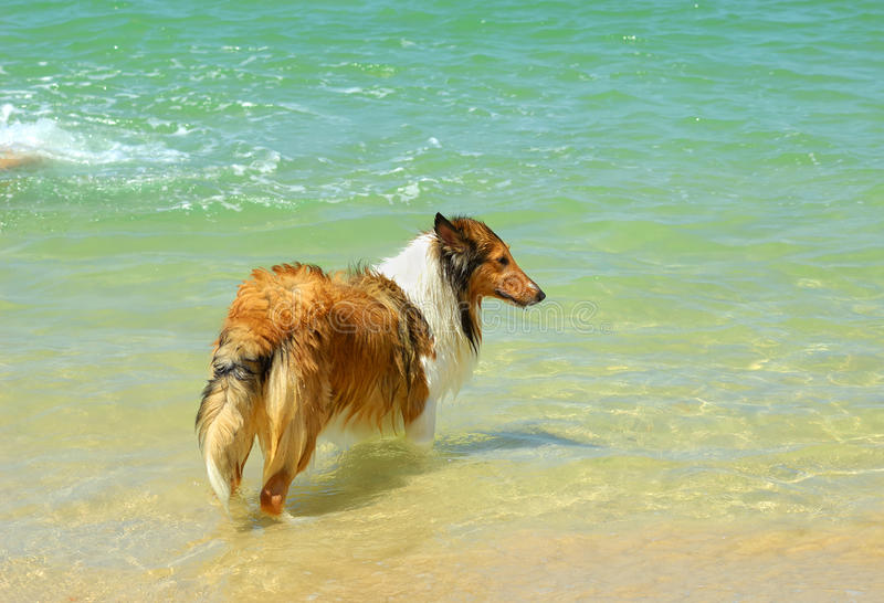 Collie Dog On Beach Royalty Free Stock Photo