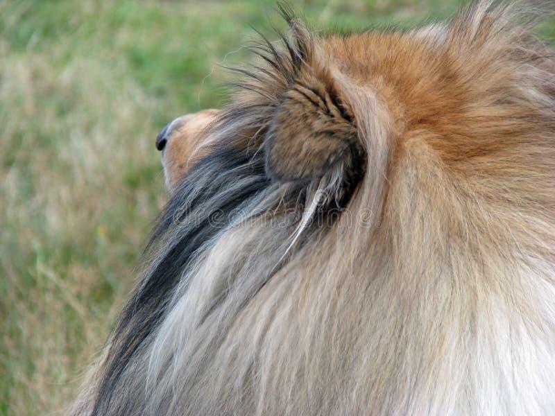 Collie dog details