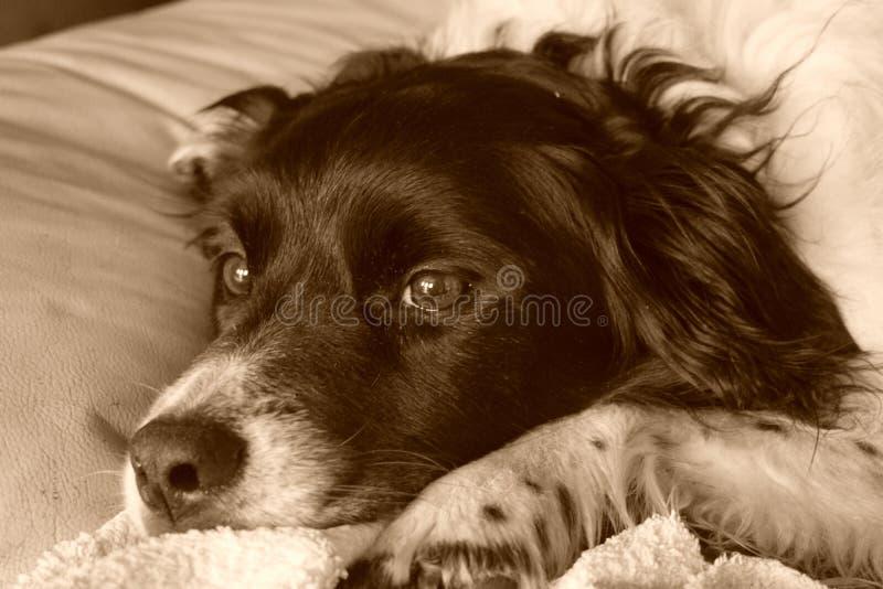 Collie Dog stock image