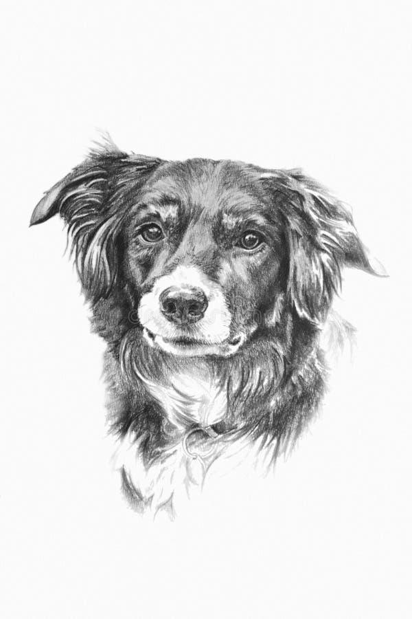 Download collie dog stock illustration illustration of head pencil 51661622