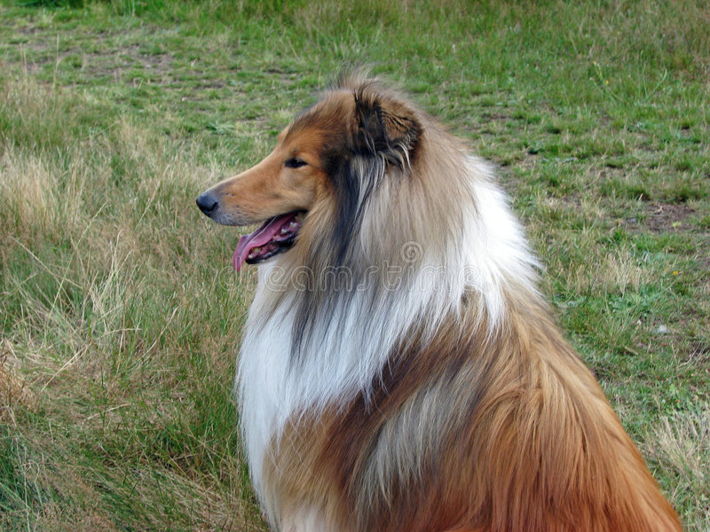 Collie Dog In Profile Stock Images