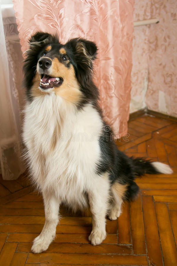 Collie dog sitting on the floor stock image