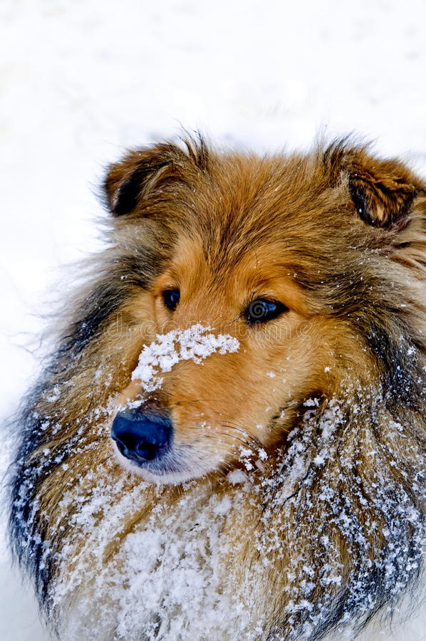 Download Collie dog in snow stock photo. Image of warm, head, soft - 28641658
