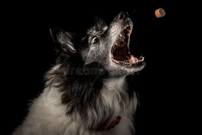 Collie Dog sta trattando fotografia stock libera da diritti