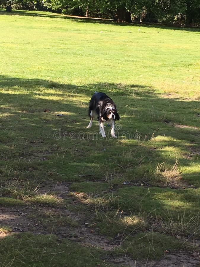 Collie dog. Waiting in anticipation for the ball stock photos