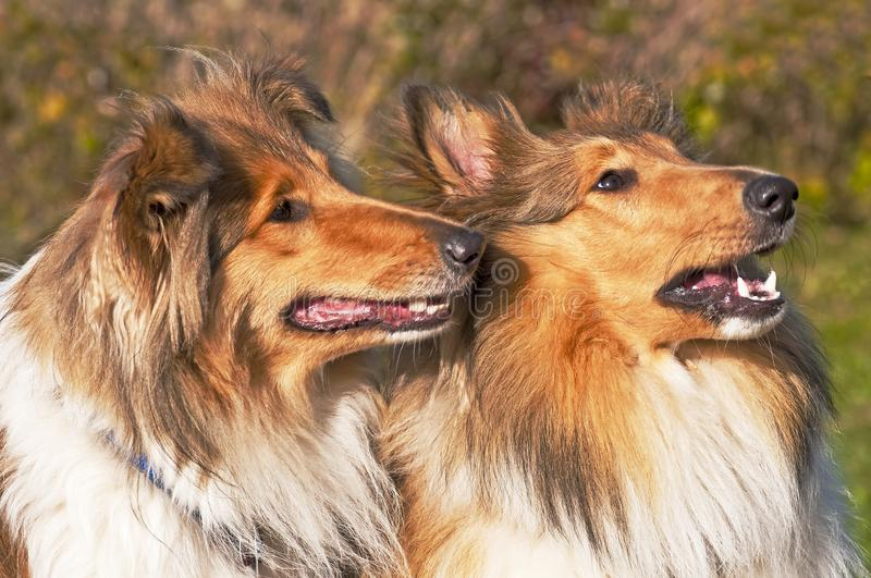 Collie dogs stock photo