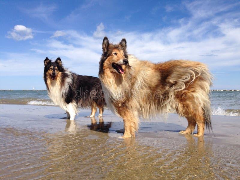 Collie Dogs en la playa foto de archivo libre de regalías