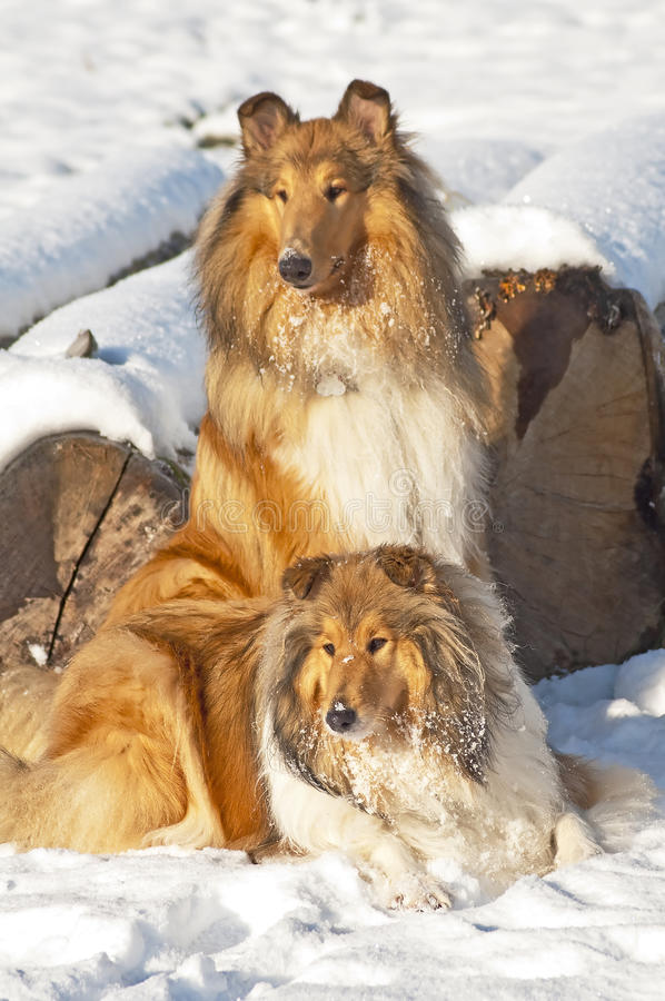 Collie dogs in snow stock image