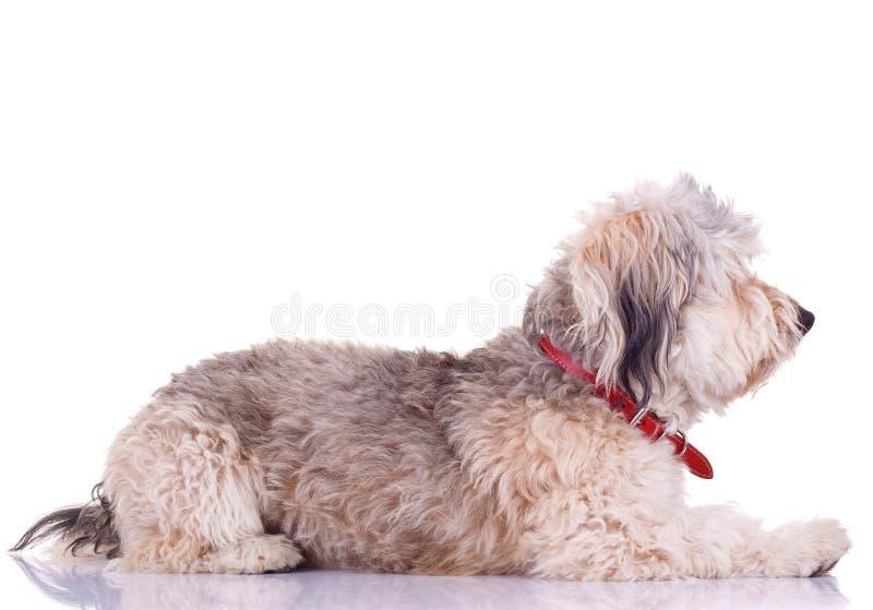 Download Collie farpado foto de stock. Imagem de cão, canine, isolado - 16865692