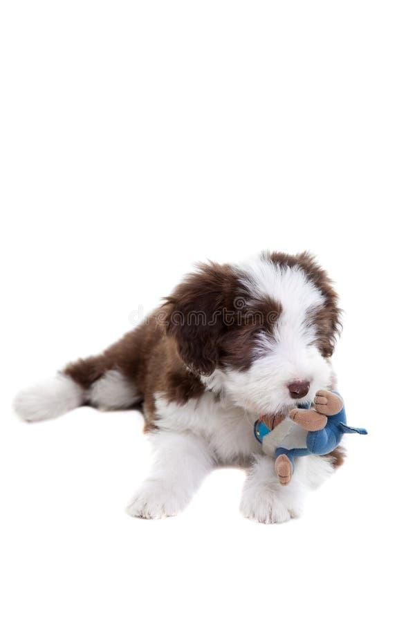 Collie farpado do filhote de cachorro fotos de stock royalty free
