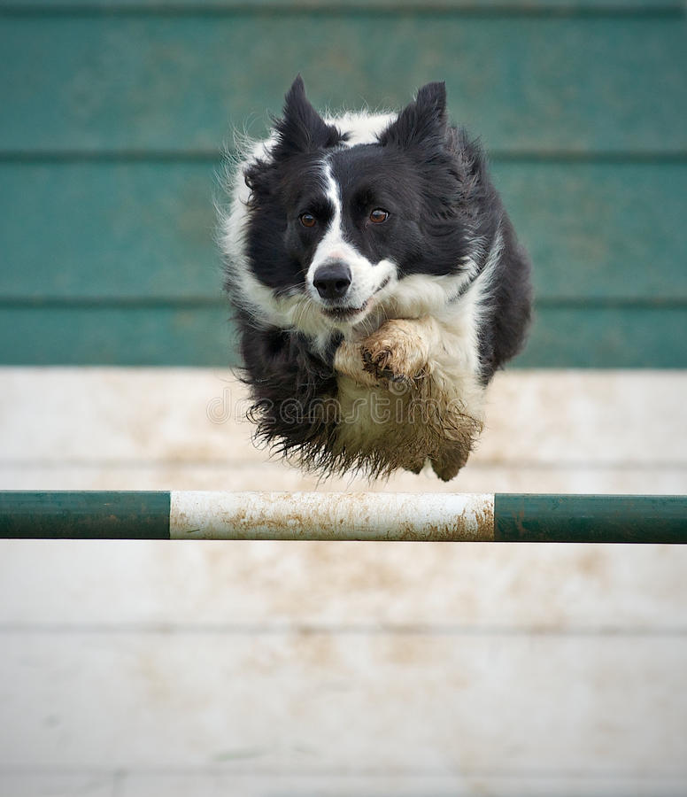 Collie In Flight. Collie Dog in full flight at the Dog Agility trails stock photography