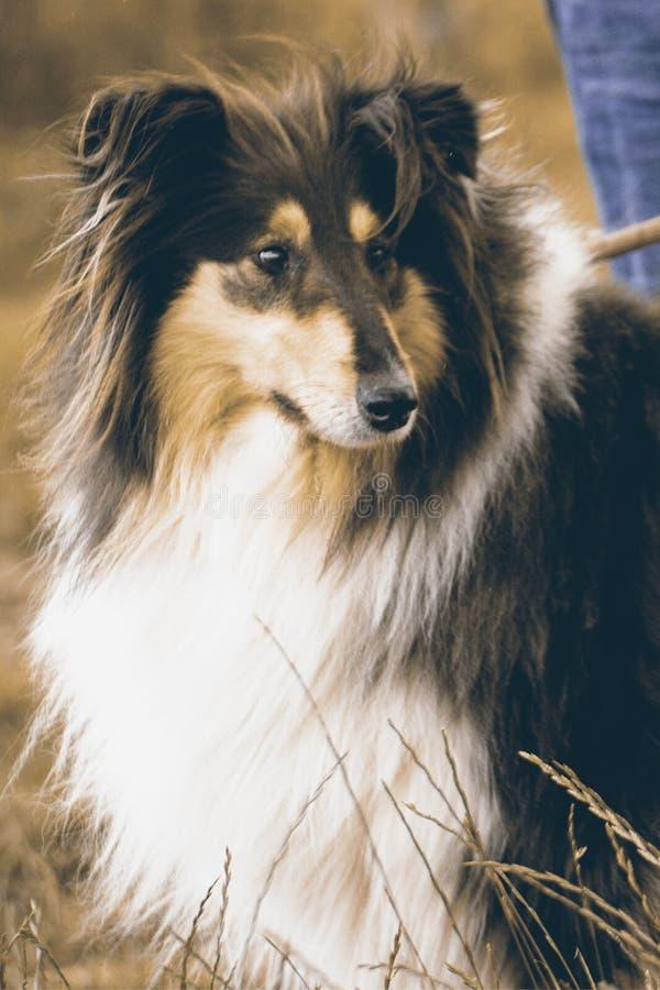Collie Herding Dog stockfotografie