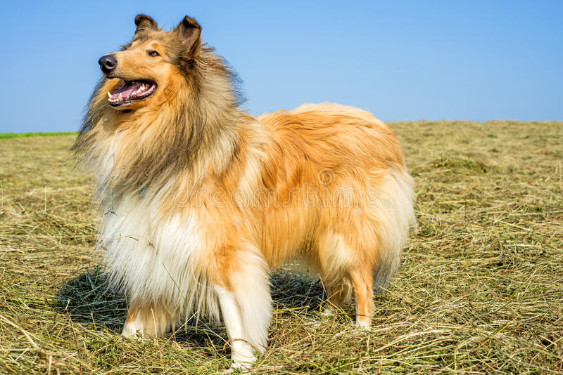 Collie, male purebred dog. Standing on hay stock image