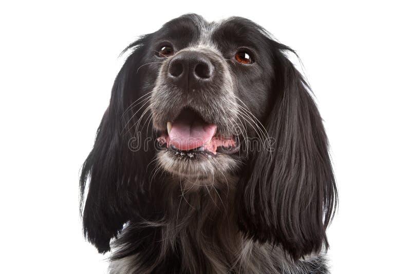 Collie mezclado de la casta dog.border, perro de aguas de cocker imagen de archivo libre de regalías