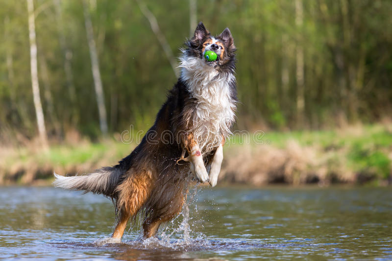 Collie-Mix dog jumping for a ball in a river royalty free stock image