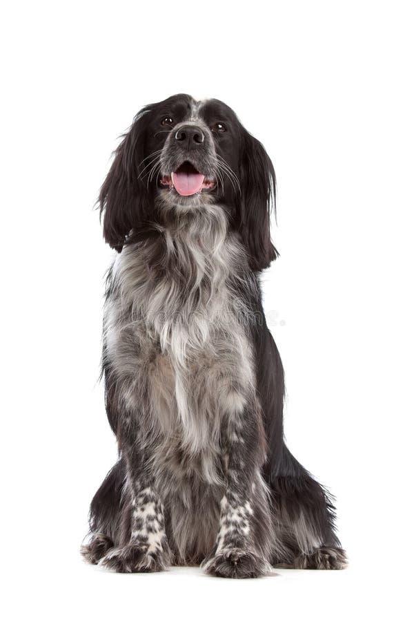 Collie Mixed della razza dog.border, spaniel di cocker fotografia stock