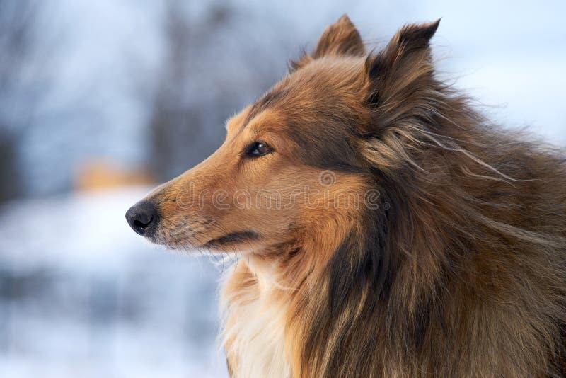 Collie, pastor escocês no pluton do inverno, close up, perfil imagens de stock