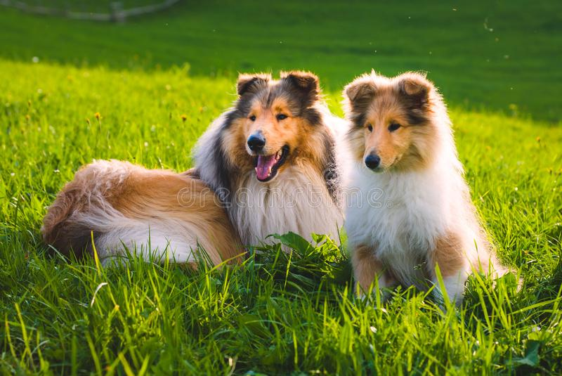 Collie pies obraz stock