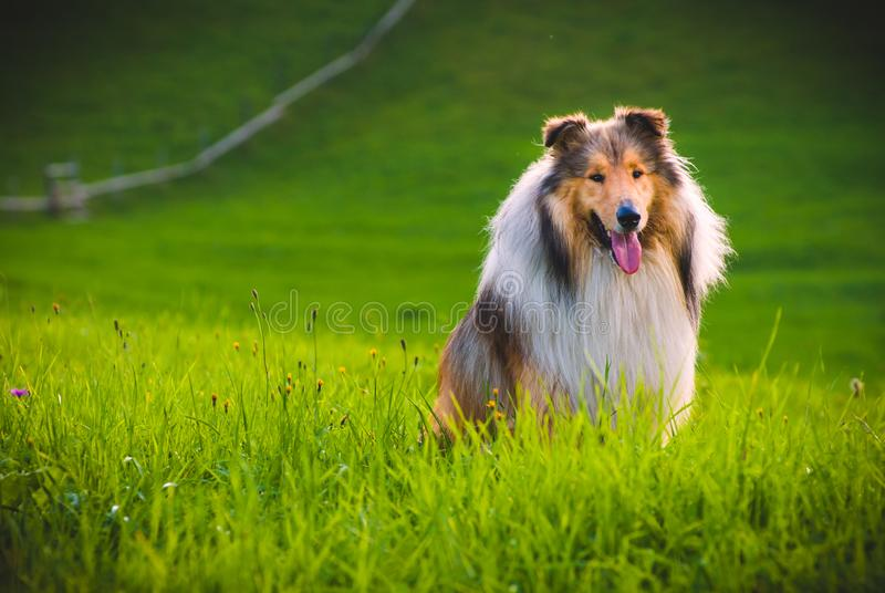Collie pies zdjęcia stock