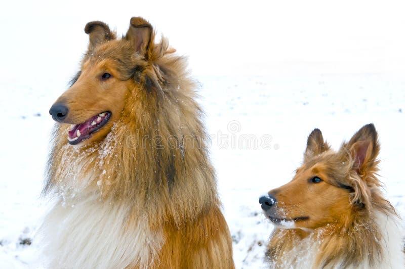 Collie psy w śniegu zdjęcia stock