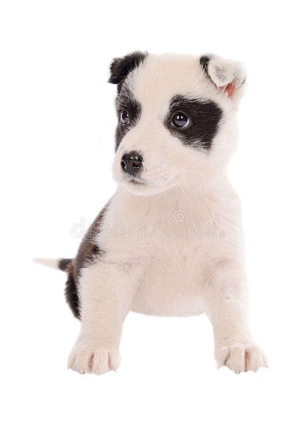 Download Collie puppy sitting stock photo. Image of expression - 41666704