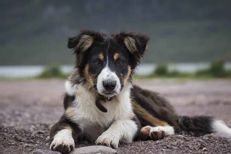 Collie Sheepdog ciucia obrazy stock