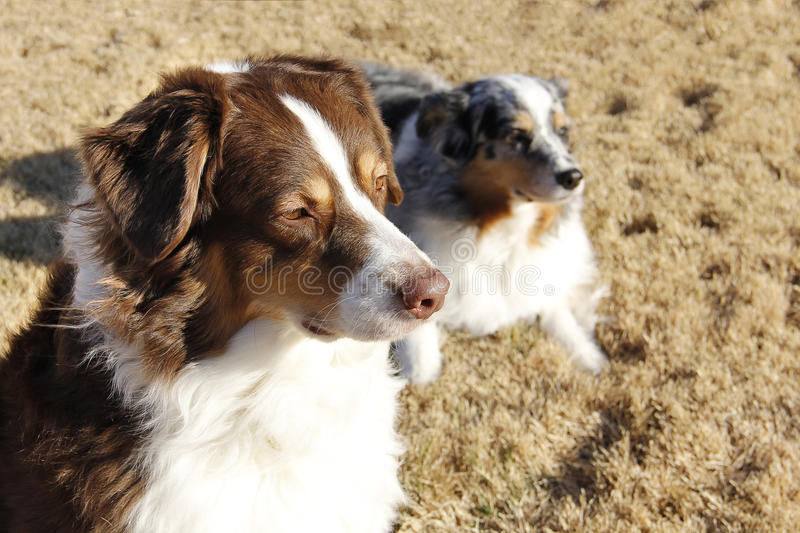 Download Collie Sunset stock image. Image of purebreed, breed - 26352709