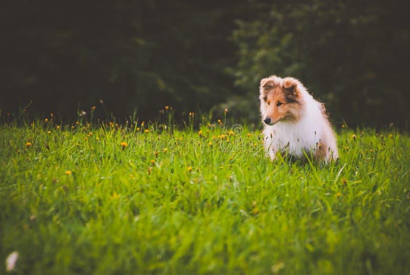 Colliehund lizenzfreies stockfoto