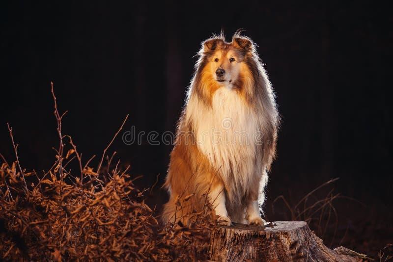 Colliehund stockfoto