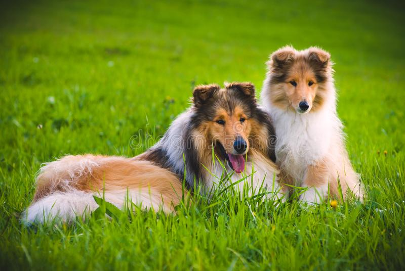 Colliehund royaltyfria foton