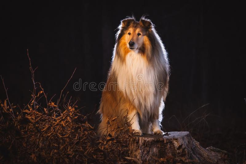 Colliehund royaltyfria bilder