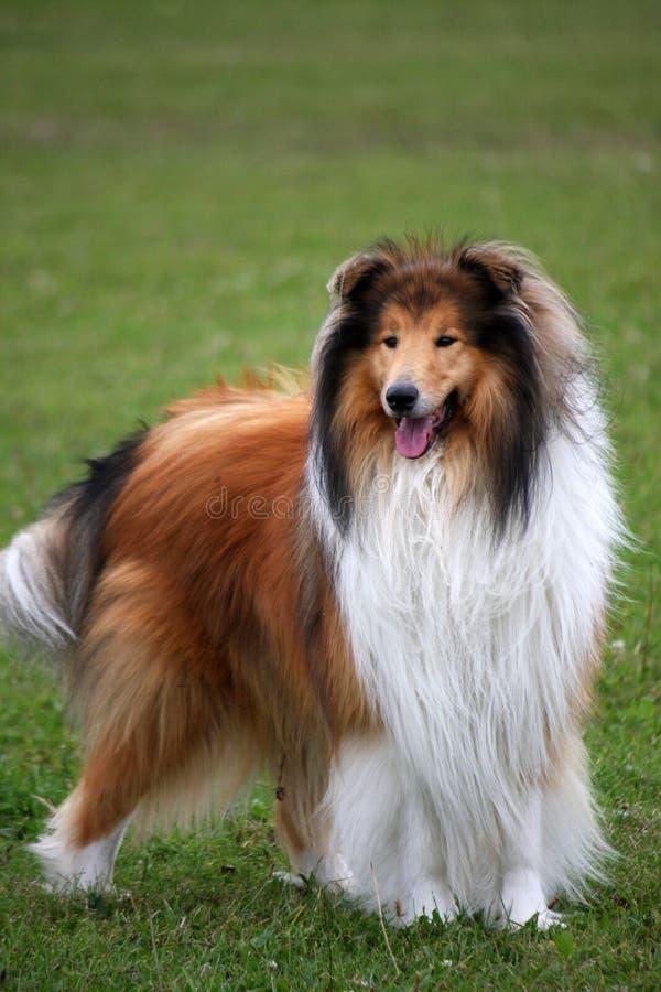 colliehund royaltyfri fotografi