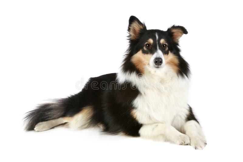 colliehund shetland royaltyfri bild