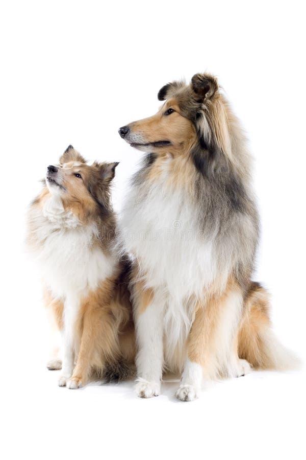 collien dogs skott royaltyfria foton