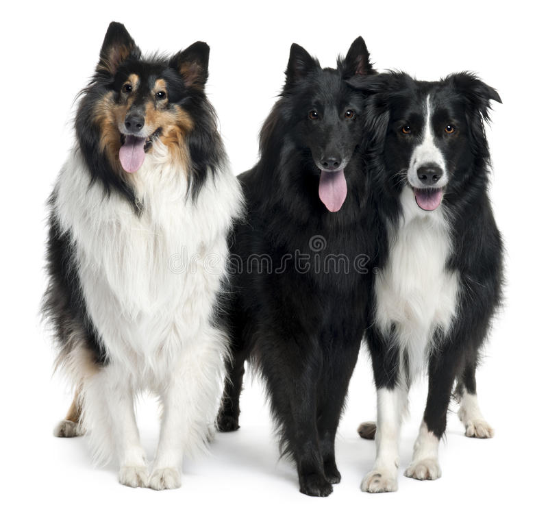 Collies standing stock photos