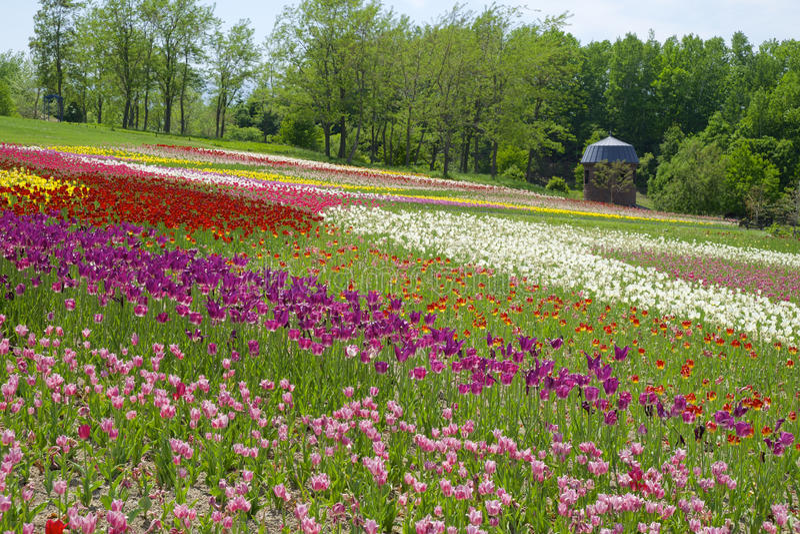 Collina dei tulipani fotografie stock
