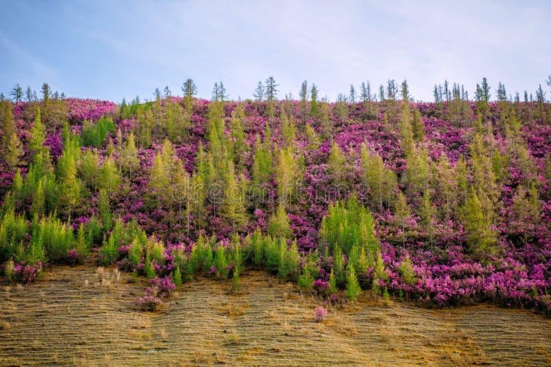 Collina invasa con i giovani pini verdi ed i cespugli porpora Azalee selvatiche sui pendii delle montagne Fioritura della primave fotografie stock